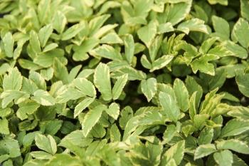 Aegopodium podagraria Variegatum - Panaschierter Giersch