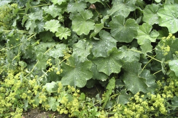Alchemilla xanthochlora (= vulgaris) - Gewöhnlicher Frauenmantel