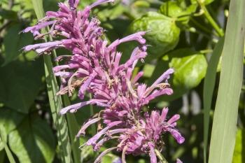 Agastache mexicana - Limonen-Duftnessel (BIO)