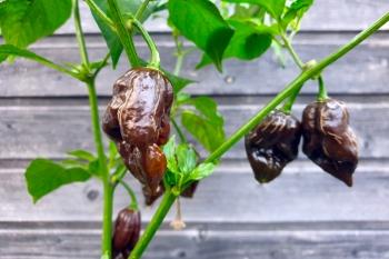 Black Naga (BIO-Chilipflanze) - Schärfegrad 10+