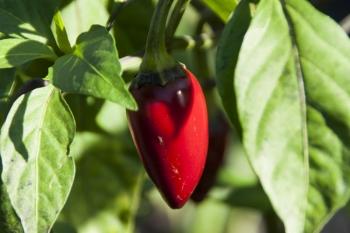 Jalapeño Ruben (BIO-Chilipflanze) - Schärfegrad 4