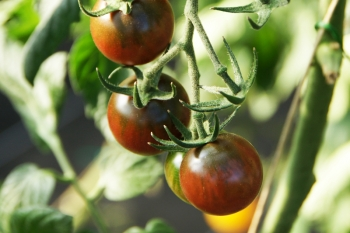 Tomate Black Cherry - Pflanze (BIO)