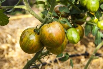 Tomate Black Zebra - Pflanze (BIO)
