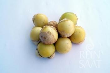 Weiße Tomatillo Amaryllis - Pflanze (BIO)