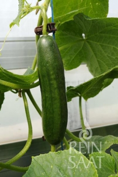 Snackgurke Beth Alpha - Pflanze (BIO)