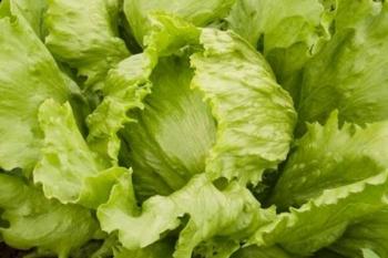 Eisbergsalat Saladin - Pflanze (BIO)