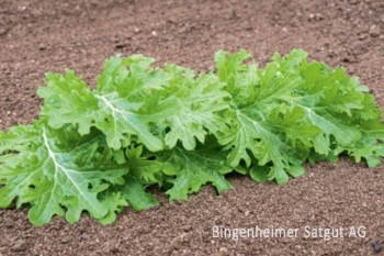 Asia-Salat Wasabino - Pflanze (BIO)