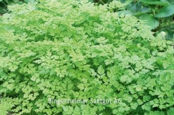 Anthriscus cerefolium - Kerbel (BIO)