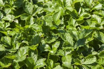 Fragaria vesca var. vesca - Wald-Erdbeere