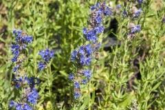 Hyssopus officinalis - Blauer Ysop