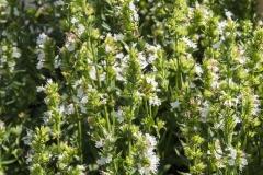 Hyssopus officinalis Albus - Weißer Ysop