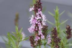 Hyssopus officinalis Roseus - Rosa Ysop