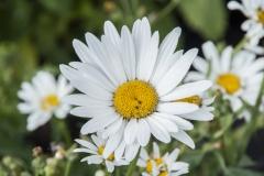 Leucanthemum x maximum Stern von Antwerpen - Weiße Sommermargerite