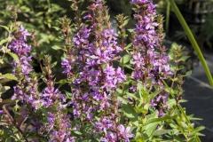 Lythrum salicaria - Blutweiderich