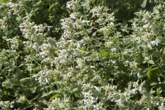 Nepeta racemosa Snowflake - Katzenminze