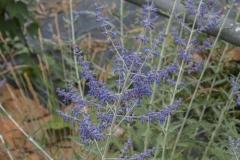 Perovskia atriplicifolia Blue Spire - Blauraute, Russischer Salbei