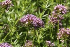 Phuopsis stylosa - Rosen-Waldmeister