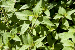 Salvia elegans - Honigmelonen-Salbei