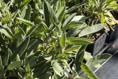 Salvia officinalis Alba - Weißer Gewürzsalbei