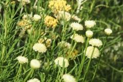 Santolina rosmarinifolia - Olivenkraut