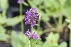 Stachys officinalis - Heil-Ziest, Betonie
