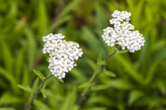 Achillea millefolium Proa - Wiesen-Schafgarbe (BIO)