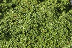 Thymus doerfleri Bressingham Seedling - Polster-Thymian