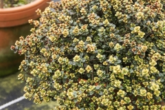 Thymus comosus Doone Valley- Kriechender Zitronen-Thymian