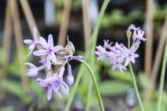 Tulbaghia violacea - Zimmerknoblauch