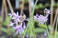 Tulbaghia violacea Variegata - Weißbunter Zimmerknoblauch