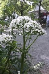 Valeriana officinalis - Echter Baldrian