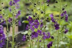 Verbascum phoeniceum Violetta - Purpur-Königskerze