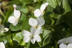 Viola sororia Albiflora - Pfingstveilchen