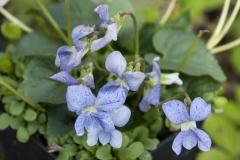 Viola sororia Dark Freckles - Pfingstveilchen