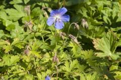 Geranium pratense Johnsons Blue - Wiesen-Storchschnabel