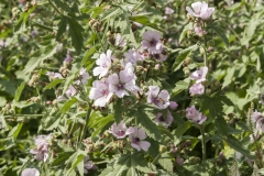 Althaea officinalis - Echter Eibisch