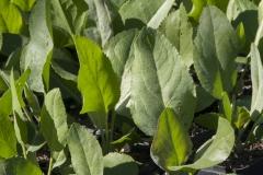 Lepidium latifolium - Pfefferkraut, Ausdauernde Kresse
