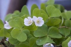 Oxalis acetosella - Wald-Sauerklee