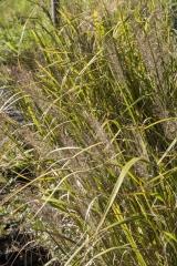 Calamagrostis brachytricha - Diamant-Reitgras