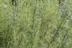 Artemisia abrotanum Citrina - Zitronige Eberraute