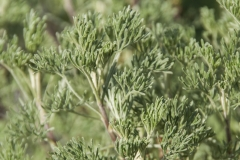 Artemisia abrotanum ssp. maritima - Colakraut