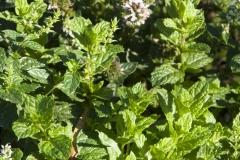 Mentha spicata var. crispa Marokko - Marokkanische Minze