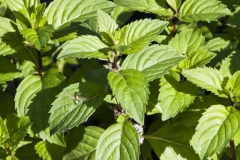 Mentha spec. Honey - Honig-Minze