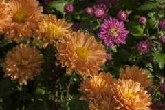 Chrysanthemum Indicum-Hybr. Kleiner Bernstein - Herbst-Chrysantheme