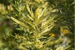 Artemisia vulgaris Oriental Limelight - Panaschierter Beifuß