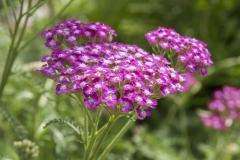 Achillea millefolium Kirschkönigin - Schafgarbe