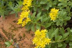 Sedum floriferum Weihenstephaner Gold- Gold Fetthenne
