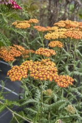 Achillea Filipendulina-Hybride Feuerland - Schafgarbe