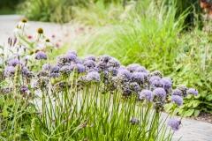 Allium lusitanicum (= montanum) - Berg-Lauch
