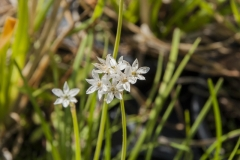 Allium tuberosum - Schnitt-Knoblauch (BIO)